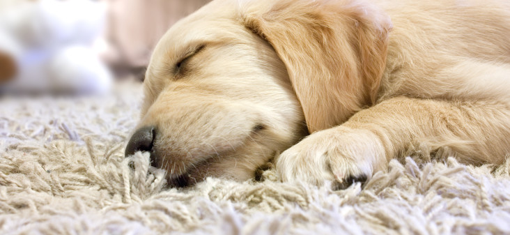 Pet Urine Stain And Odor Removal In Henderson Nv